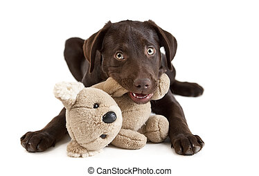 Puppy chewing - Cute puppy Puppy chewing on stuffed animal...
