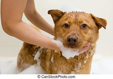 Dog taking a bath - Dog in bathtub while owner washing.