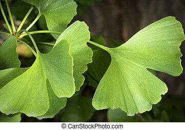 ginkgo - Close-up on ginkgo biloba tree