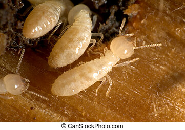Termites - Closeup on termites going in and out of their...