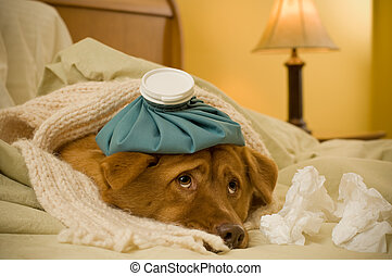 Sick as a dog concept - Dog in bed with scarf and water...