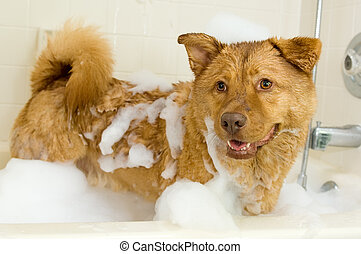 Dog taking a bath - Dog in bathtub with lots of bubbles in...