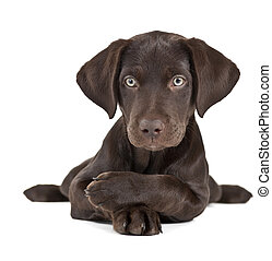 Puppy on white background - Cute brown puppy posing with...