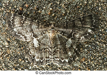Moth with great camouflage skill (Tulip-tree Beauty Moth,...