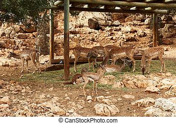Deer graze in the Biblical Zoo in Jerusalem. Israel
