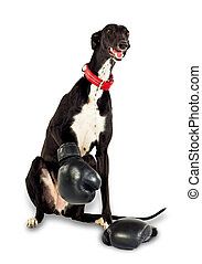 Dog in boxing gloves - Greyhound dog, 18 months old, in...