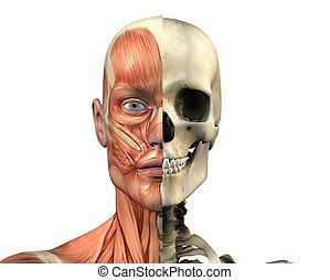 Male Skull - Muscles