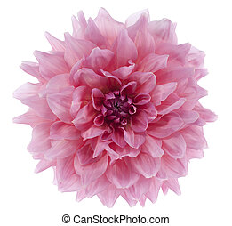 dahlia - Studio Shot of Pink Colored Dahlia Isolated on...