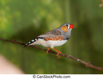 zebra-finch - The male zebra-finch on a branch close up...