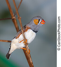 The singing zebra-finch on a branch close up (Taeniopygia...