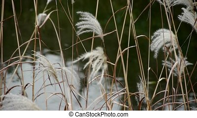 river reeds in wind,shaking wild