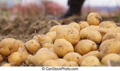 potatoes - Harvesting potatoes in the garden
