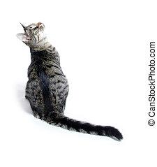 Pet tabby cat on white