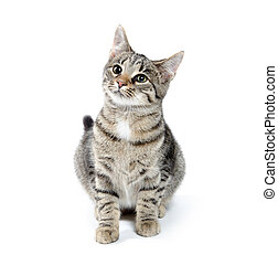 Pet tabby cat on white - Cute pet tabby cat on white...