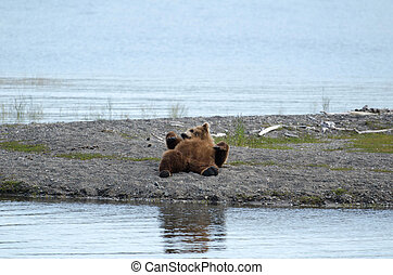 Alaskan brown bear resting - An Alaskan brown bear resting...