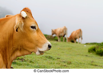 Brown Cow of Asturias (Northern Spain). - Typical Brown Cow...
