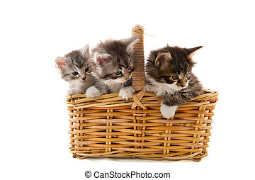 Maine Coon kittens in basket - Little Maine Coon kitten in...