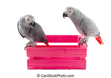 Grey African parrots - Grey red tail parrots on pink wooden...