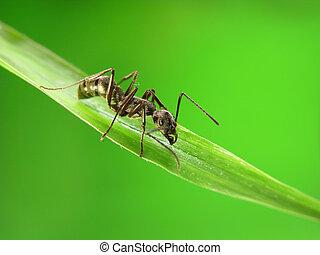 formigas, verde, capim