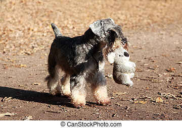 cute pet in the park - miniature schnauzer with toy