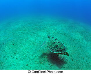 green sea turtle Chelonia mydas - sea green turtle a...