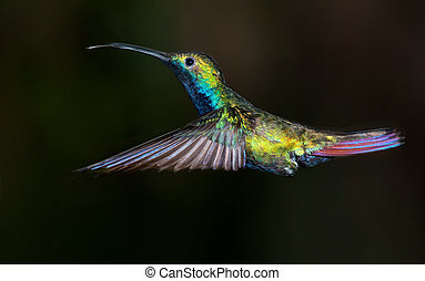 Black-throated, mango, Colibrí, Anthracothorax,...