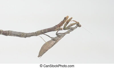 Praying mantis clinging to a stick