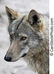 Wolf Portrait - Portrait of a handsome Timber Wolf with...
