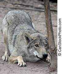 Crouching Wolf - Timber or grey wolf crouched and about to...