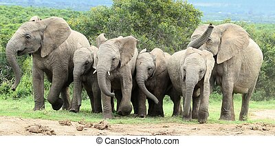 African Elephants Running - Excited African elephants...