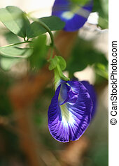 The butterfly pea, Clitoria ternatea, also known as blue pea...