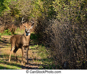 Whitetail Deer Buck - Young Whitetail Deer Buck standing at...