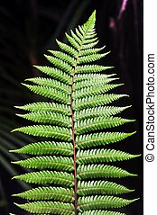 New Zealand Fern - Dicksonia Squarrosa New Zealand Fern