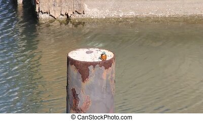 Kingfisher in the marina