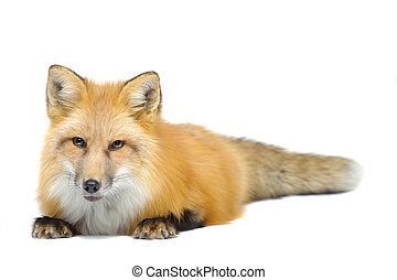 Red fox laying towards to cam isolated on white