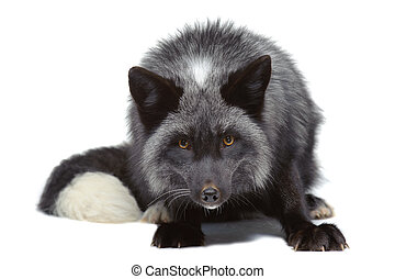 Silver fox leaning isolated on white