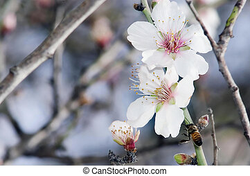 Almond Tree Flowers Closeup - A closeup of an almond tree...