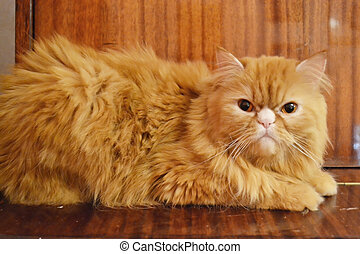 Red persian cat - Red beatiful persian cat. Little noise