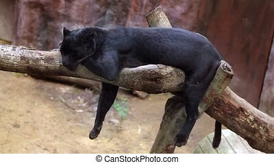 panther sleeps