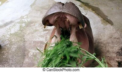 hippopotamus eating grass