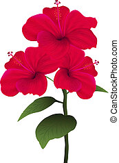 hibiscus - Illustration of hibiscus isolated on white...