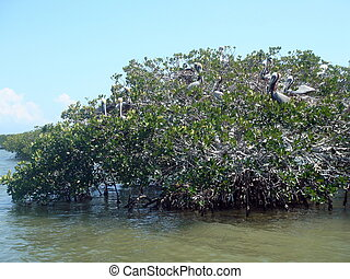 Pelicans on mangrove tree - Several pelicans sitting on...