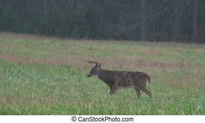 Whitetail deer buck in heavy rain