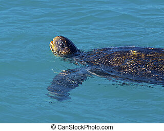 Green sea turtle lifting its head above water to draw air