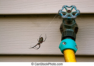 Black and Yellow Orb Weaver Spider - Black and yellow orb...