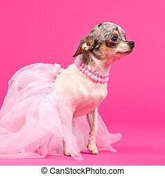 Chihuahua ballerina Dog - Chihuahua ballerina is ready to...