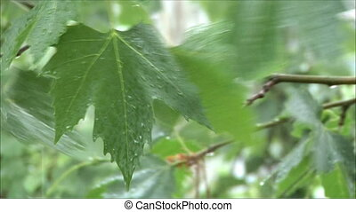 maple leaves in the rain 3