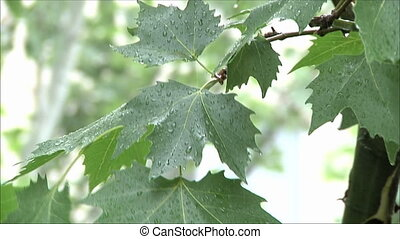 maple leaves in the rain 1