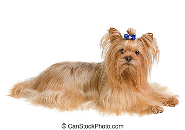 Yorkshire terrier with blue bow lying on white background