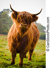 Highland Cow in field with forest on bakground